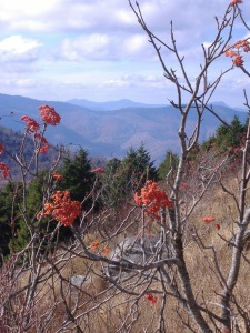 Mountain Ash (Sorbus americana (Rosaceae)) near Tennent Mountain on the Mountains to Sea Trail (North Carolina) Photo by Mark Ellison