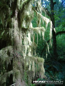 Moss and fern covered tree in Hoh Rain Forest Photo by Mark Ellison