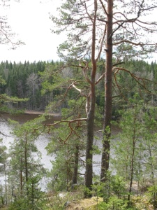 "A view from a trail in the ""Power Forest"" in Finland.  Photo courtesy Finnish Forest Research Institute"